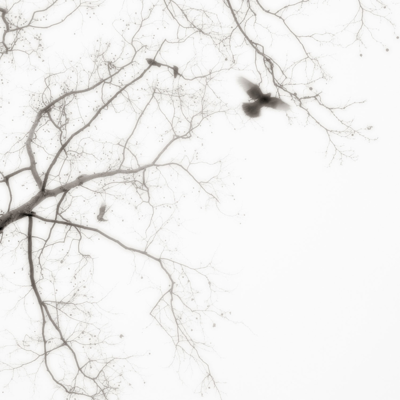 Pigeons and tree branches, New York, 2006
