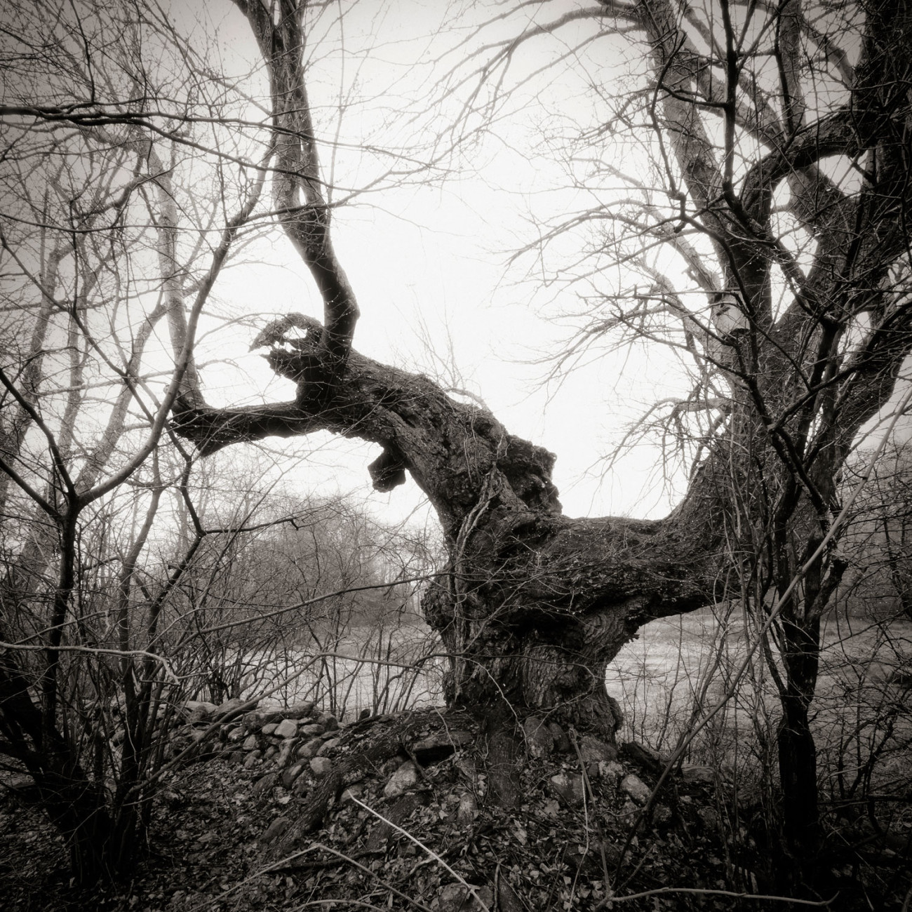 Winter tree, Lithchfield Hills, Connecticut, 2011