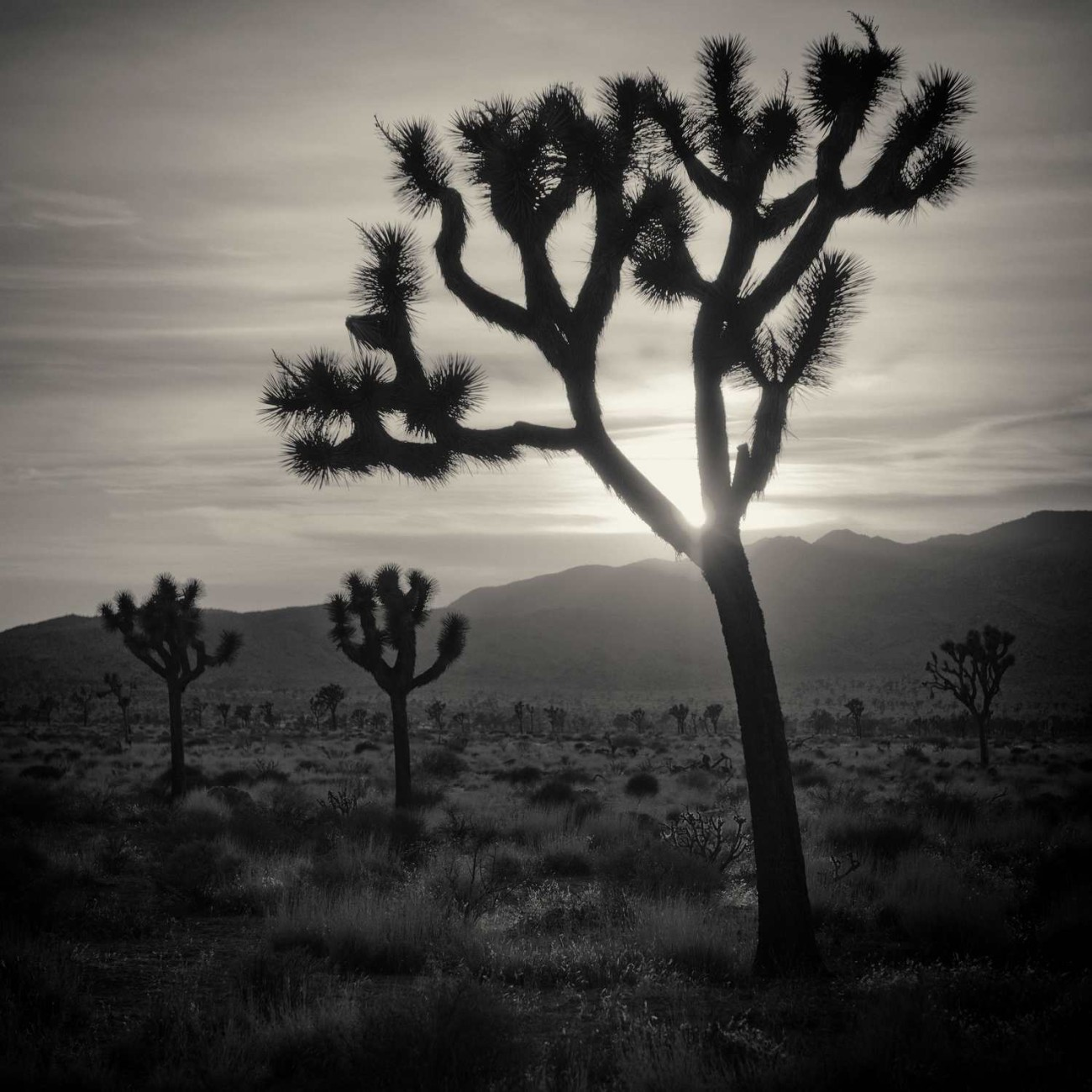 Joshua trees with sun, California, 2012