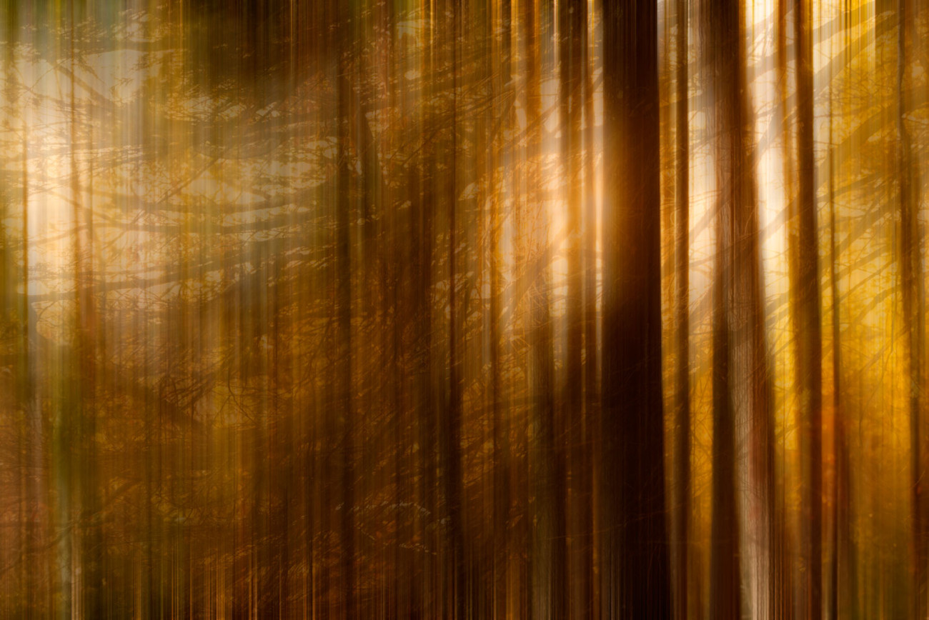 A sunset forest on Walden Pond, 2013