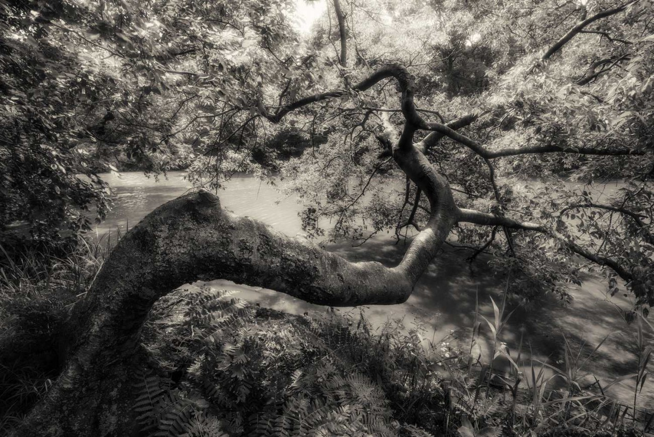 Bent tree near the Lake, Central Park, 2013