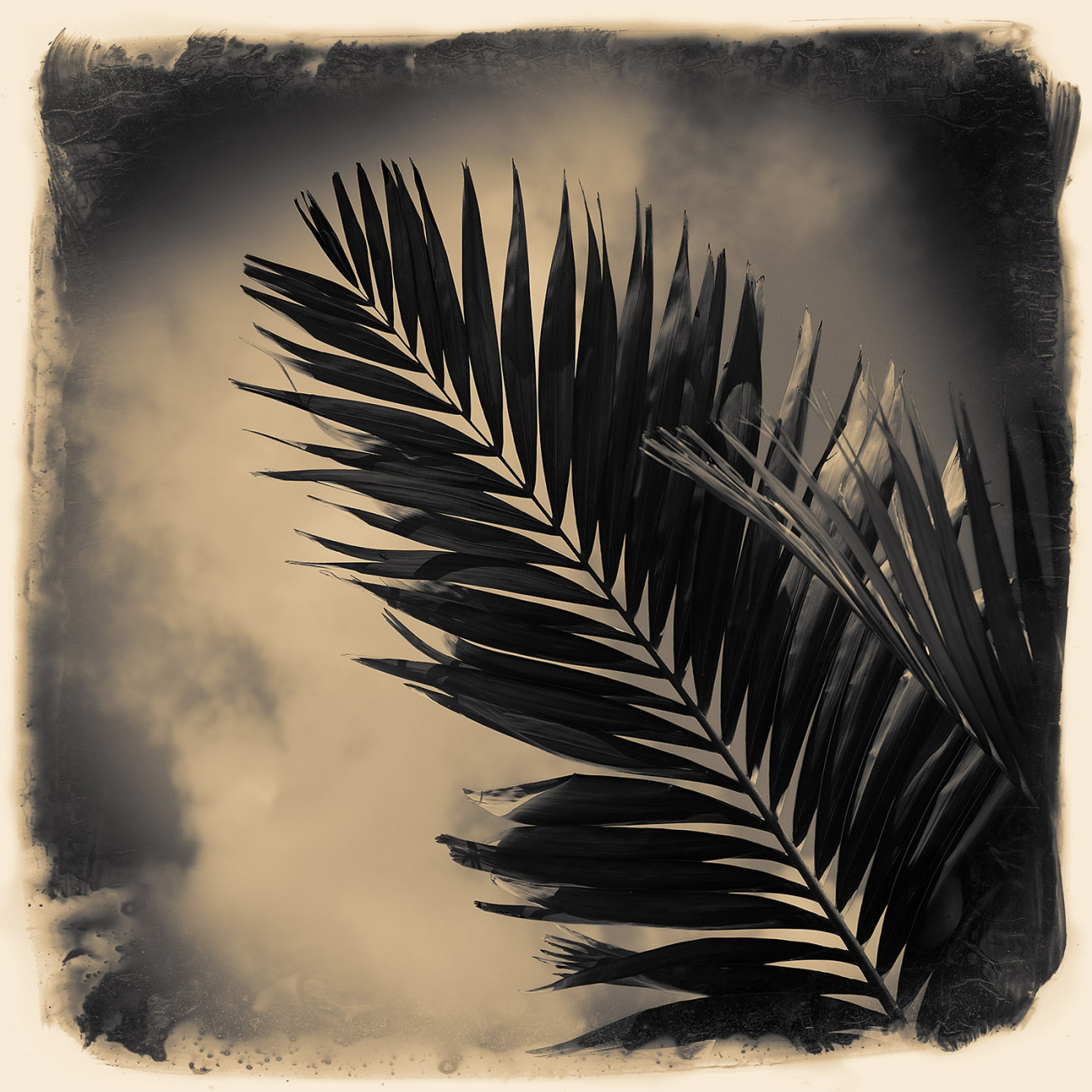 Palm leaves and cloud, Florida, 2015