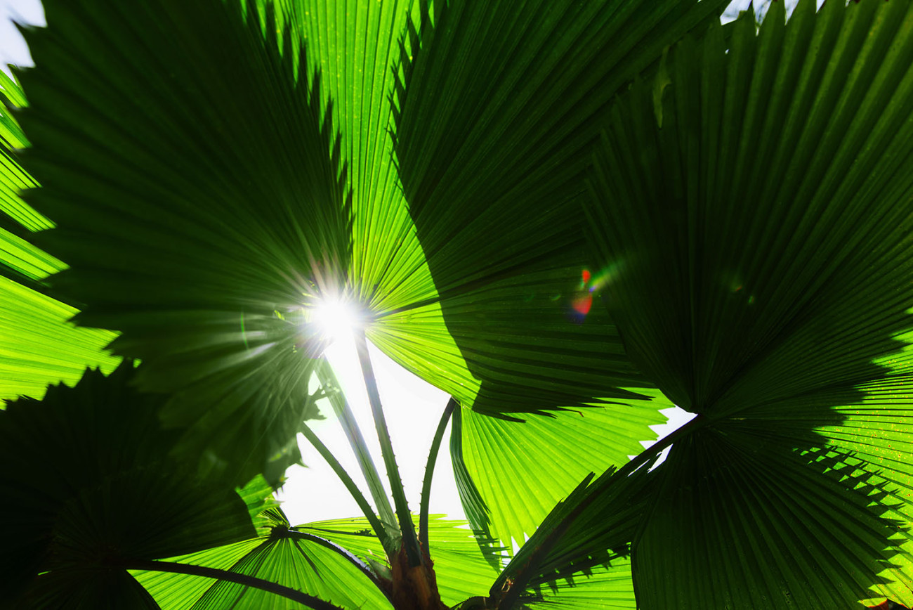 Fan palm leaves and sun, Jamiaica, 2013