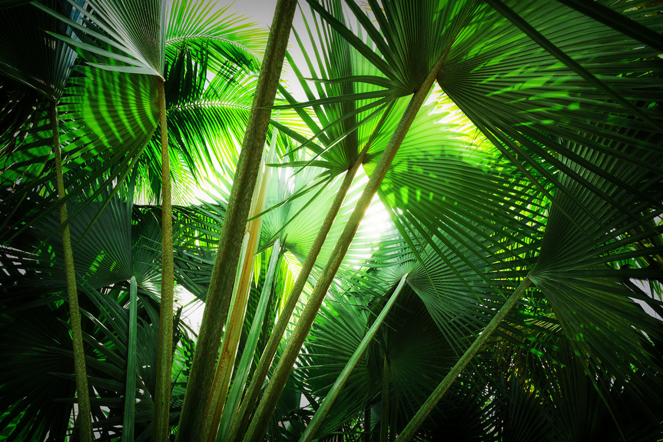 Tropical palm leaves, Jamaica, 2013