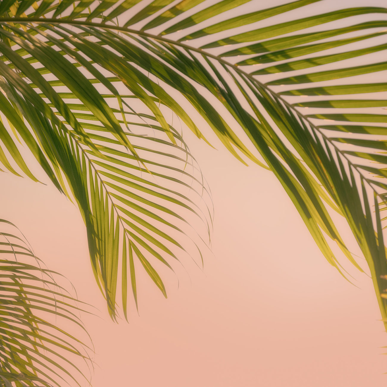 Palm leaves and pink sunset, Florida, 2017