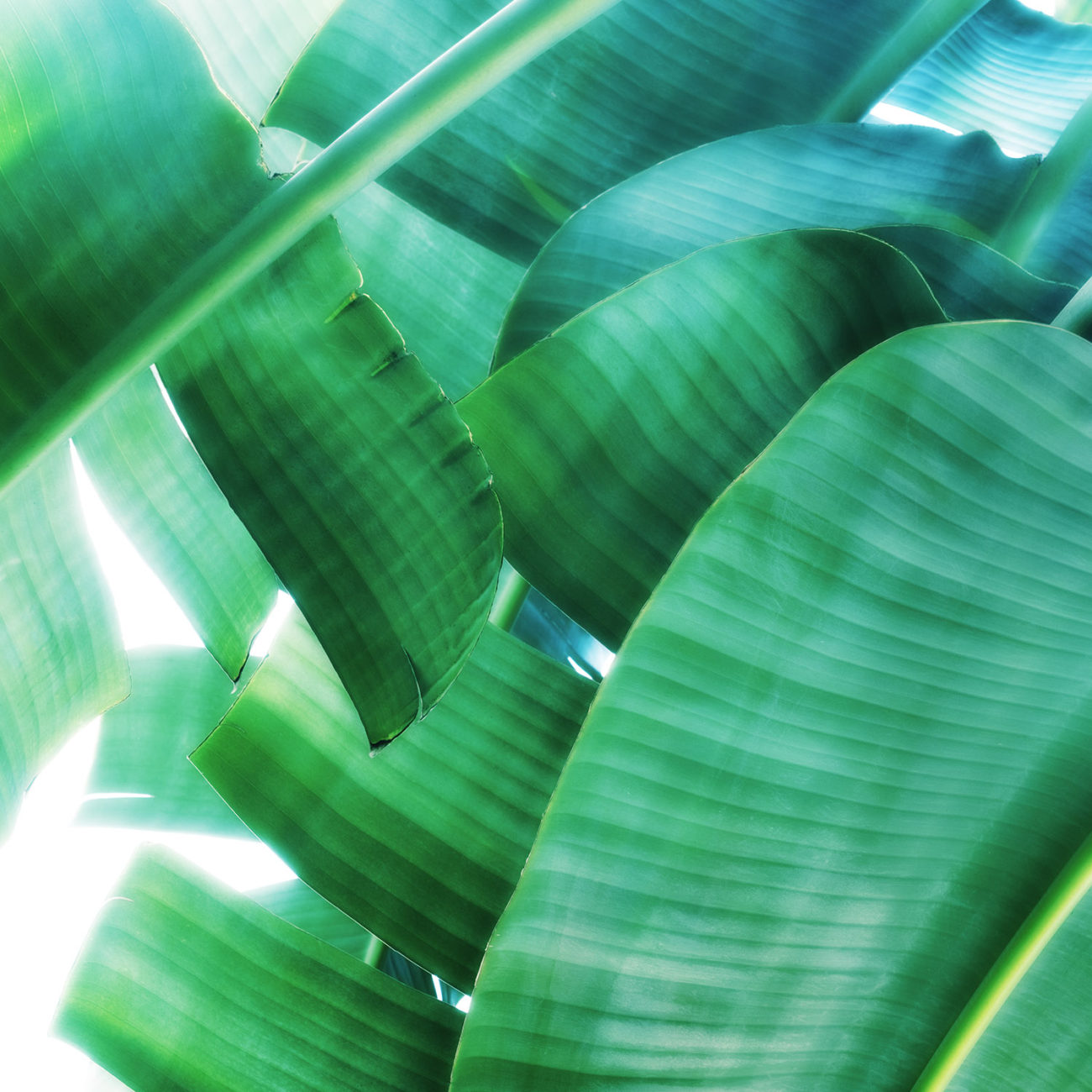 Group of banana leaves, Boca Raton, 2017
