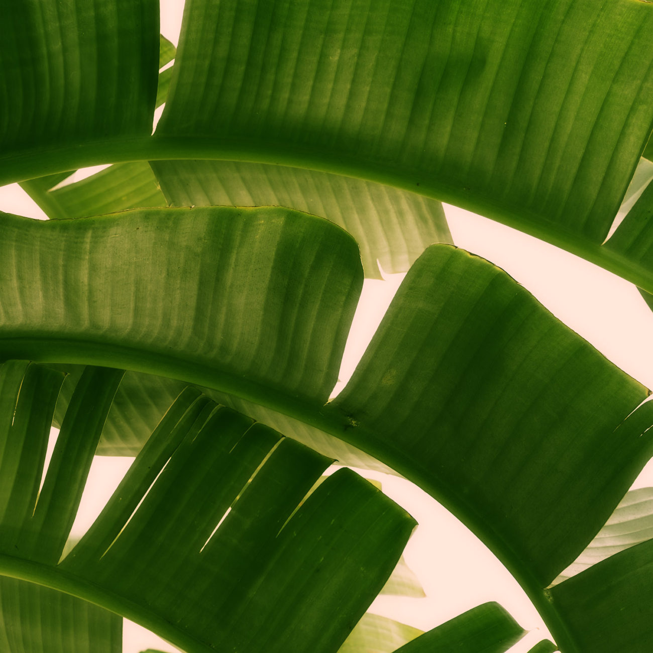 Banana leaves, Study II, Boca Raton, 2017