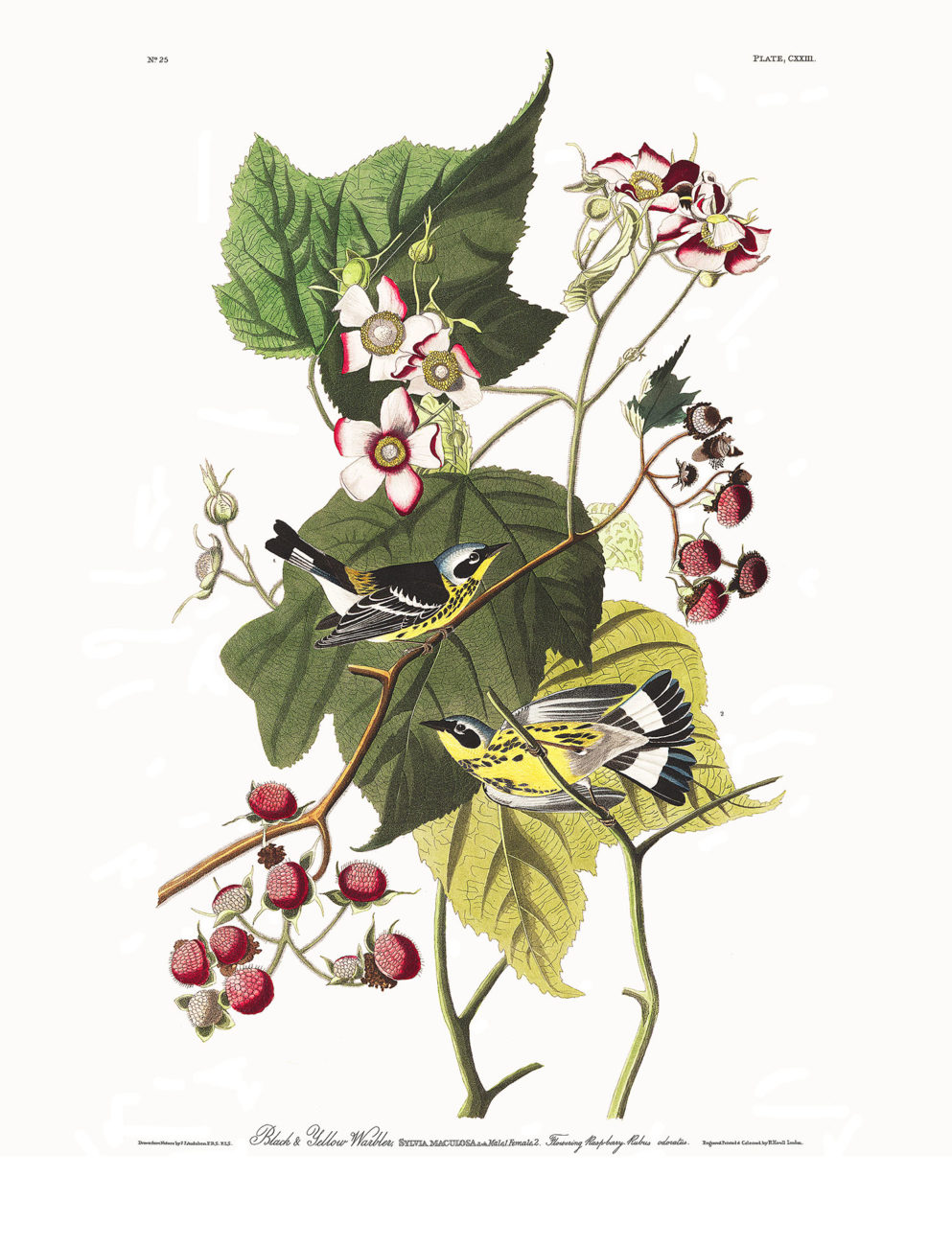 Plate 123 - Black and Yellow Warbler