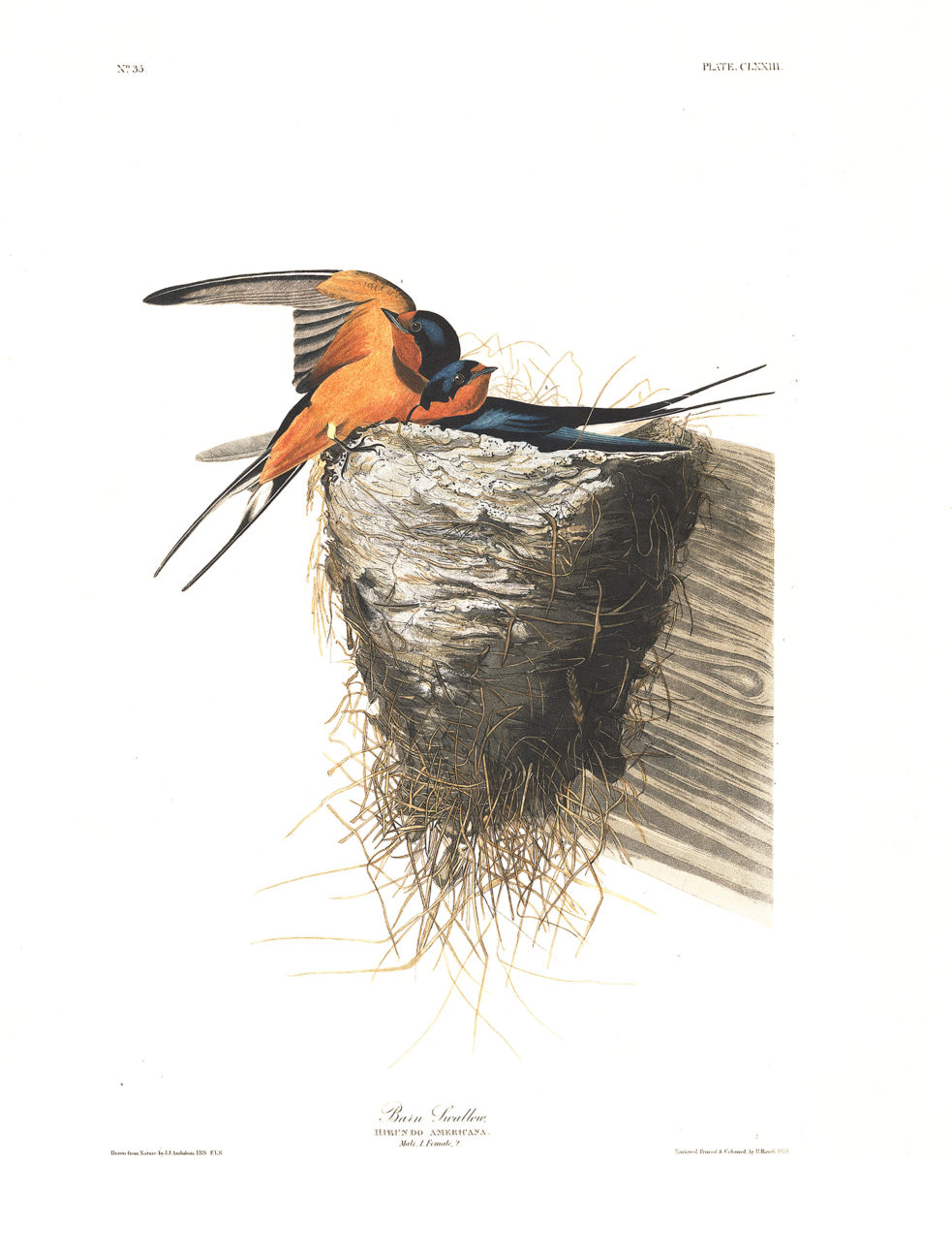 Plate 173 - Barn Swallow