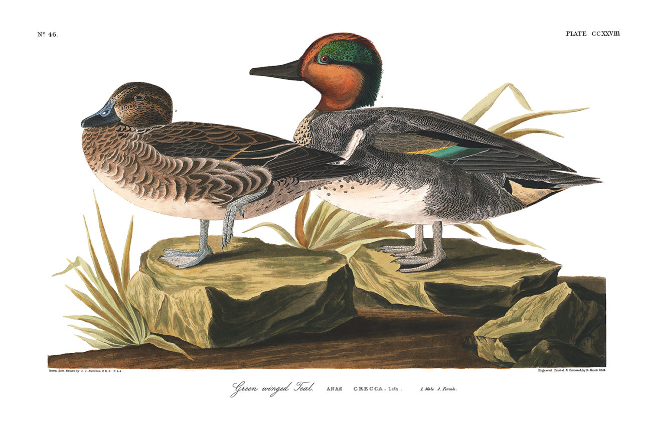 Plate 228 - Green Winged Teal