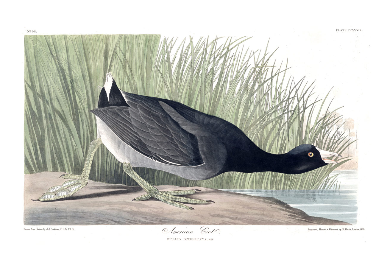 Plate 239 - American Coot
