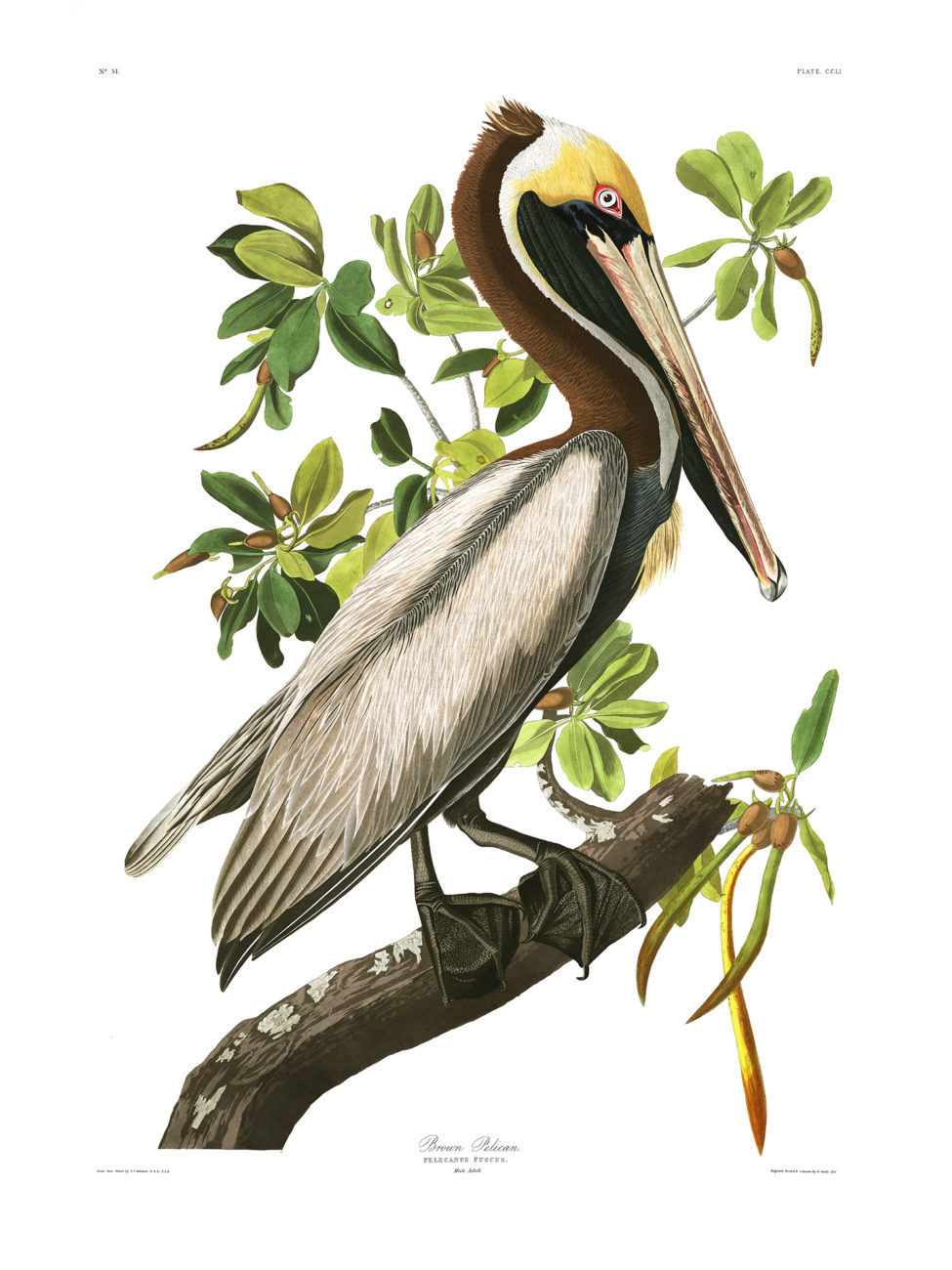 Plate 251 - Brown Pelican