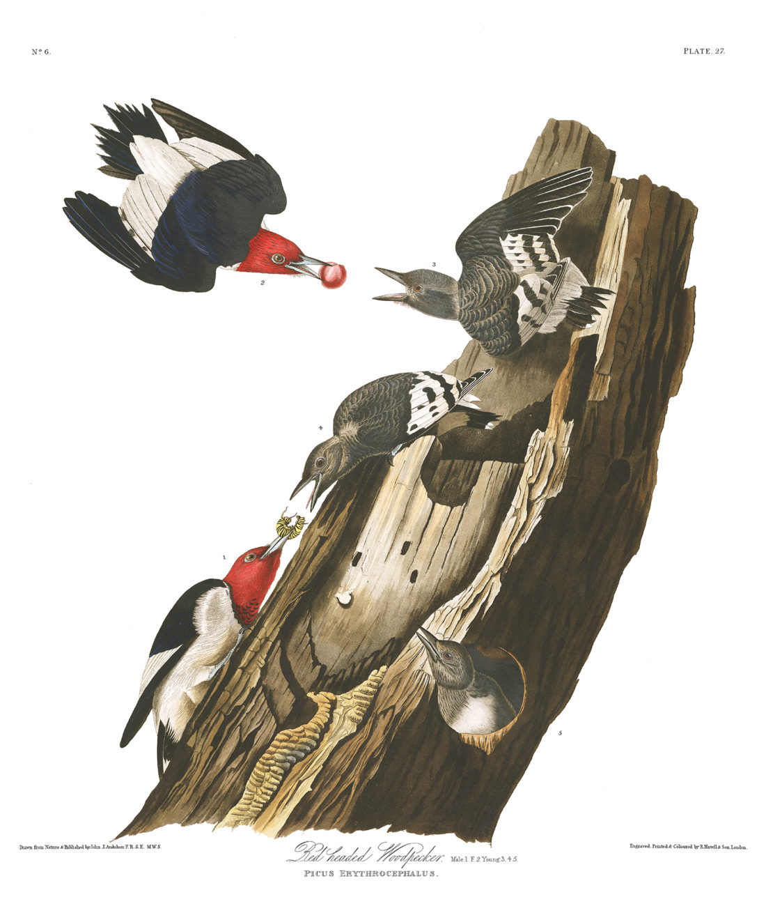 Plate 27 - Red Headed Woodpecker