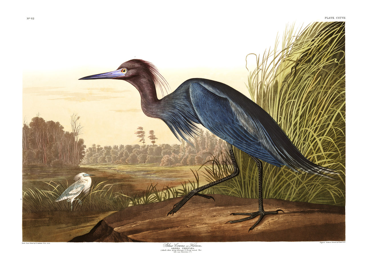 Plate 307 - Blue Crane or Heron