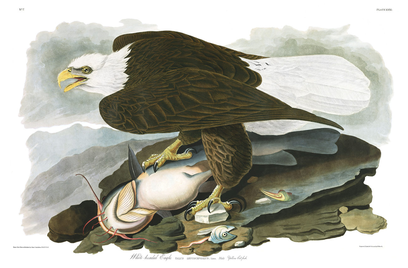 Plate 31 - White Headed Eagle