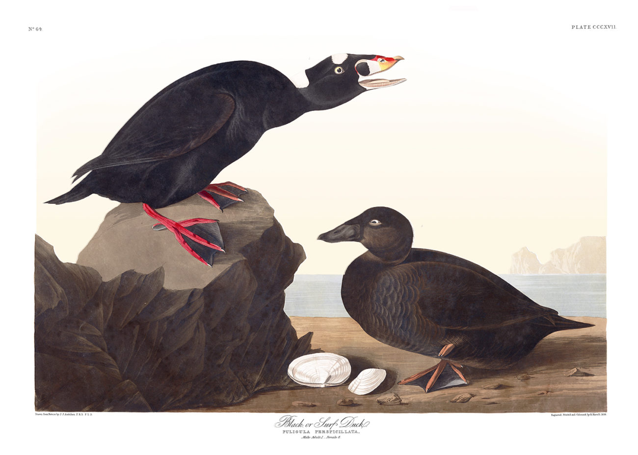 Plate 317 - Black or Surf Duck