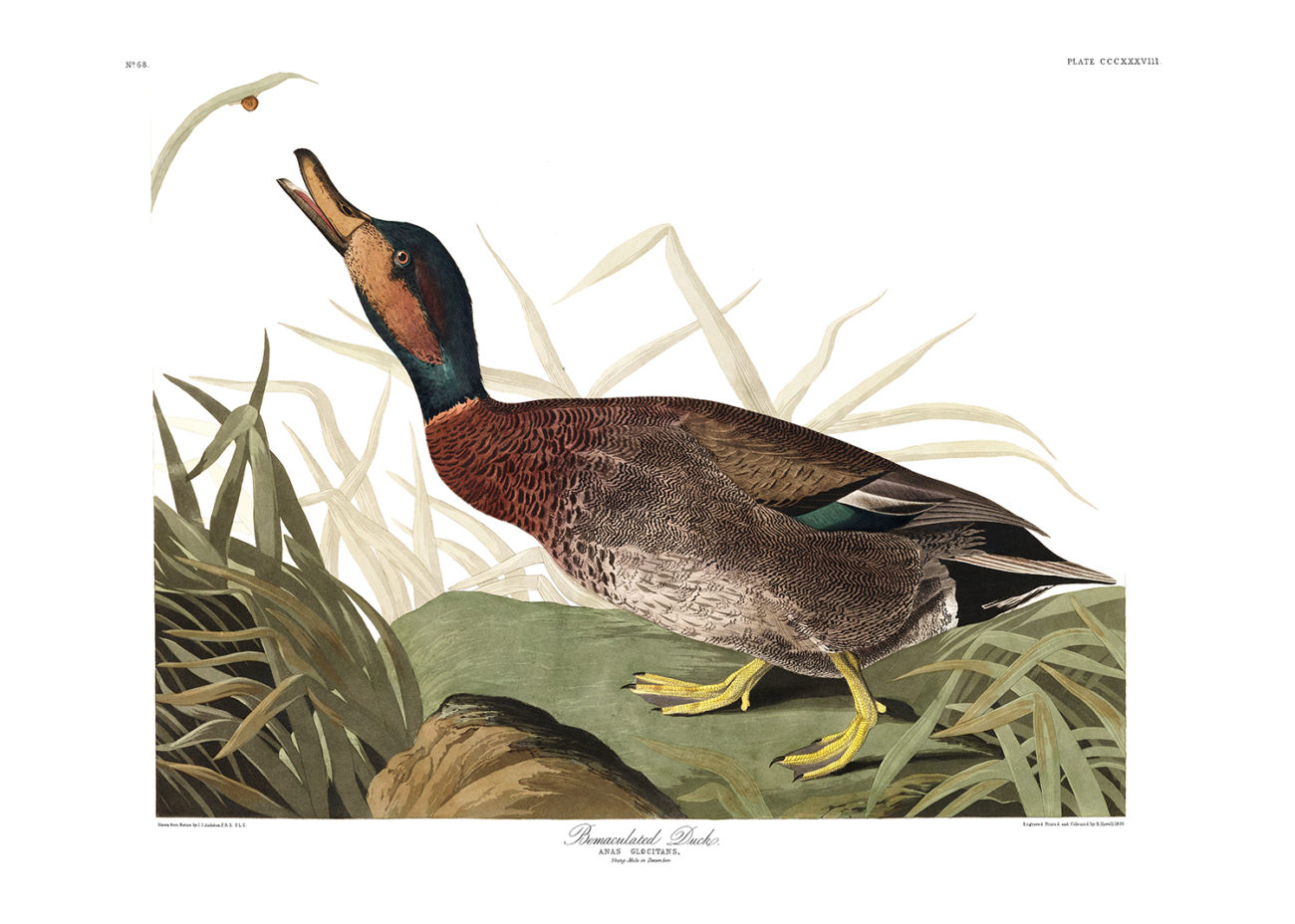 Plate 338 - Bemaculated Duck