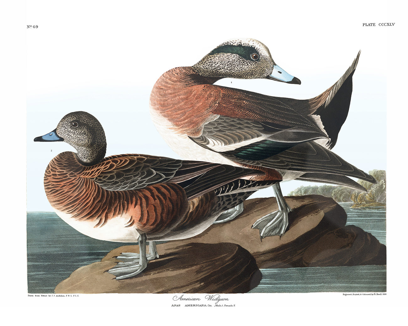 Plate 345 - American Widgeon