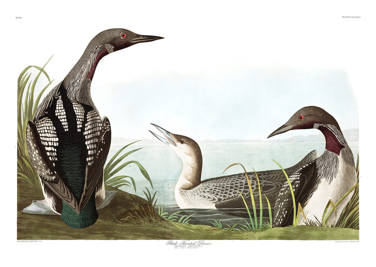 Plate 346 -  Black Throated Diver