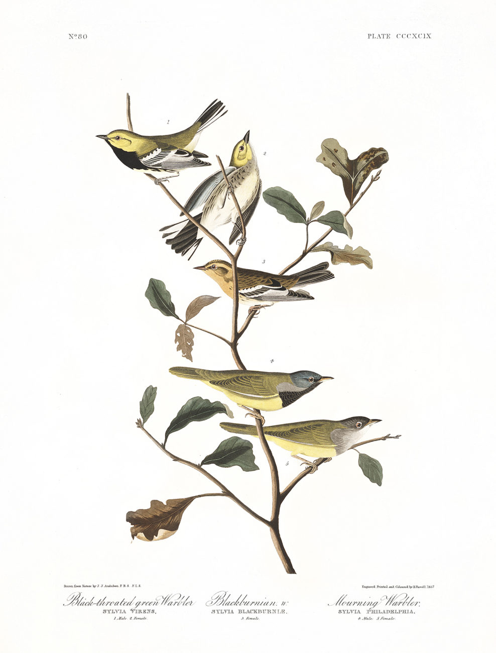 Plate 399 - Black Throated Green Warbler