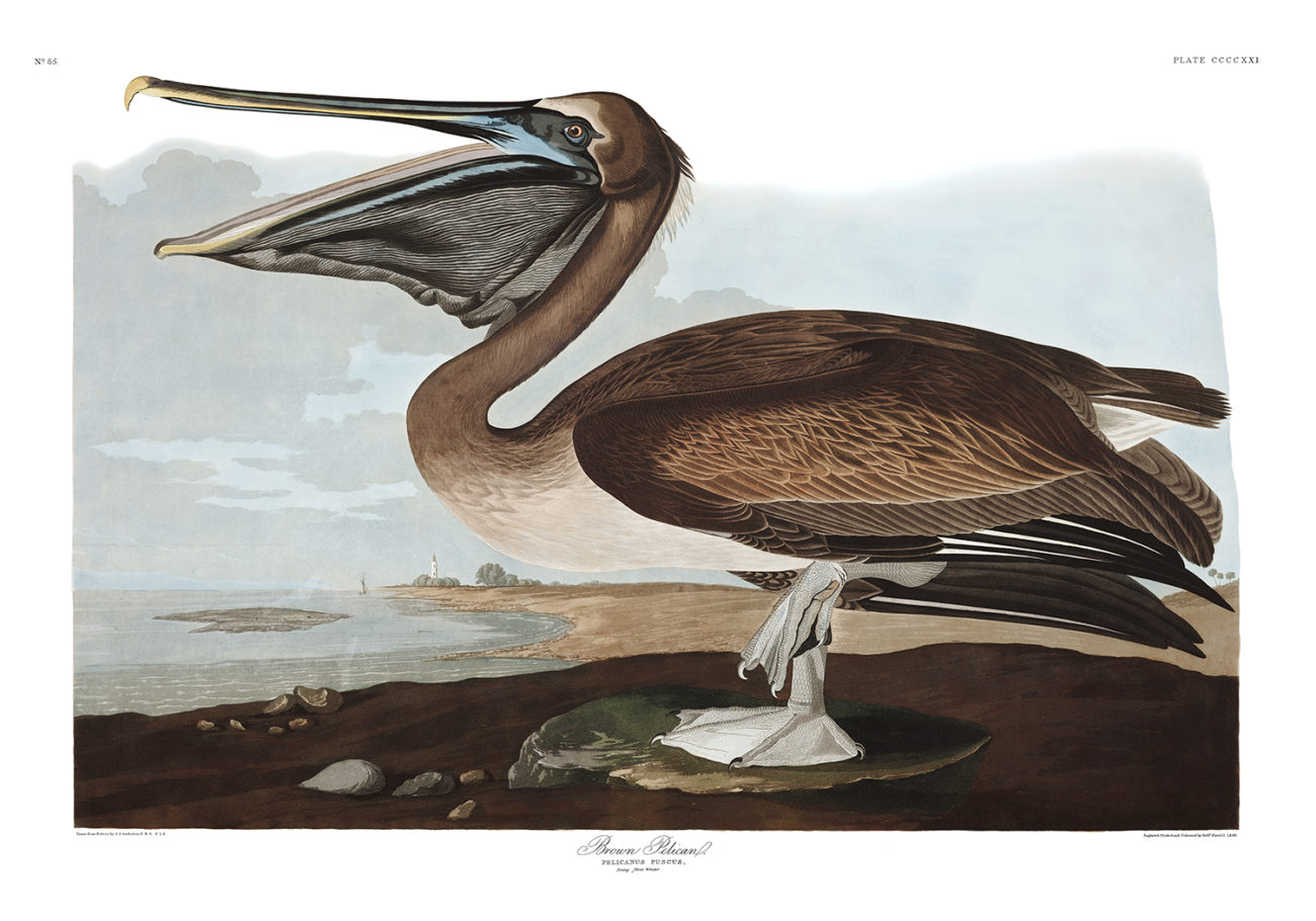 Plate 421 - Brown Pelican