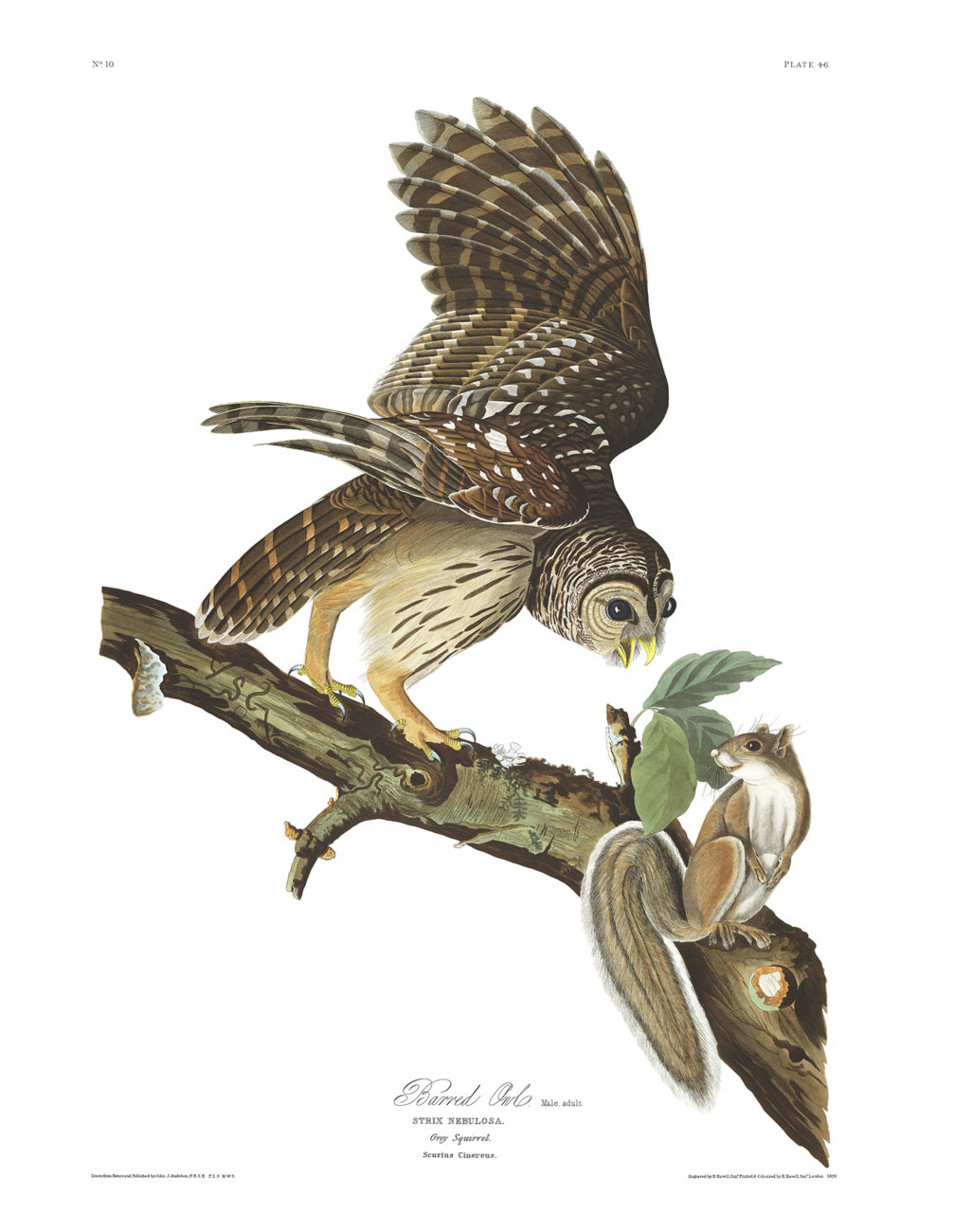 Plate 46 - Barred Owl