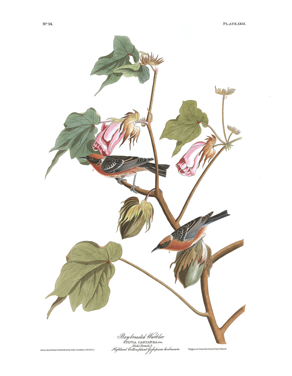 Plate 69 - Bay Breasted Warbler