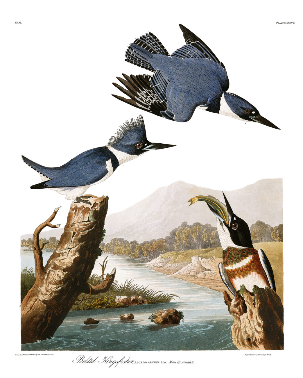 Plate 77 - Belted Kingfisher
