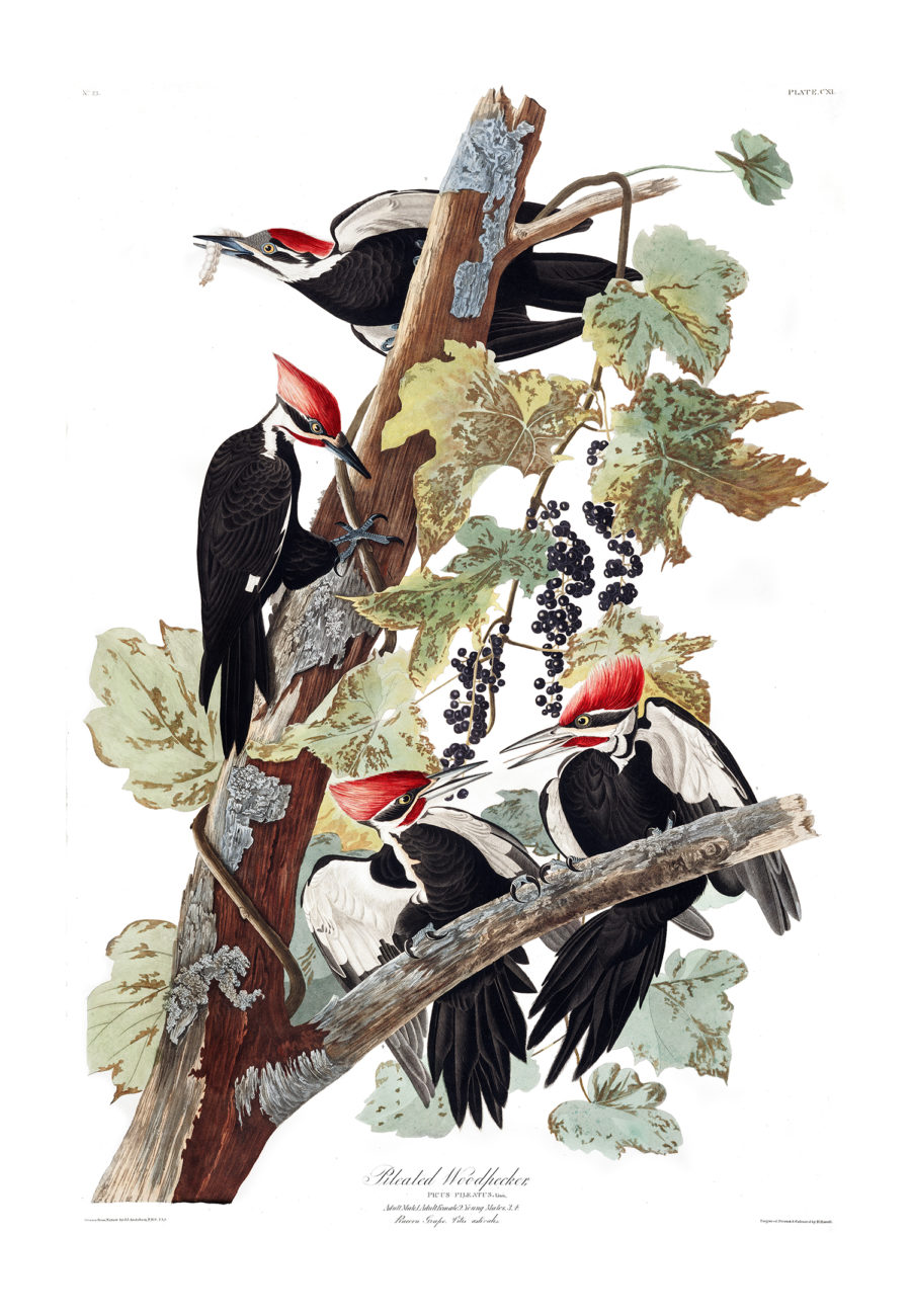 Plate 111 - Pileated Woodpecker