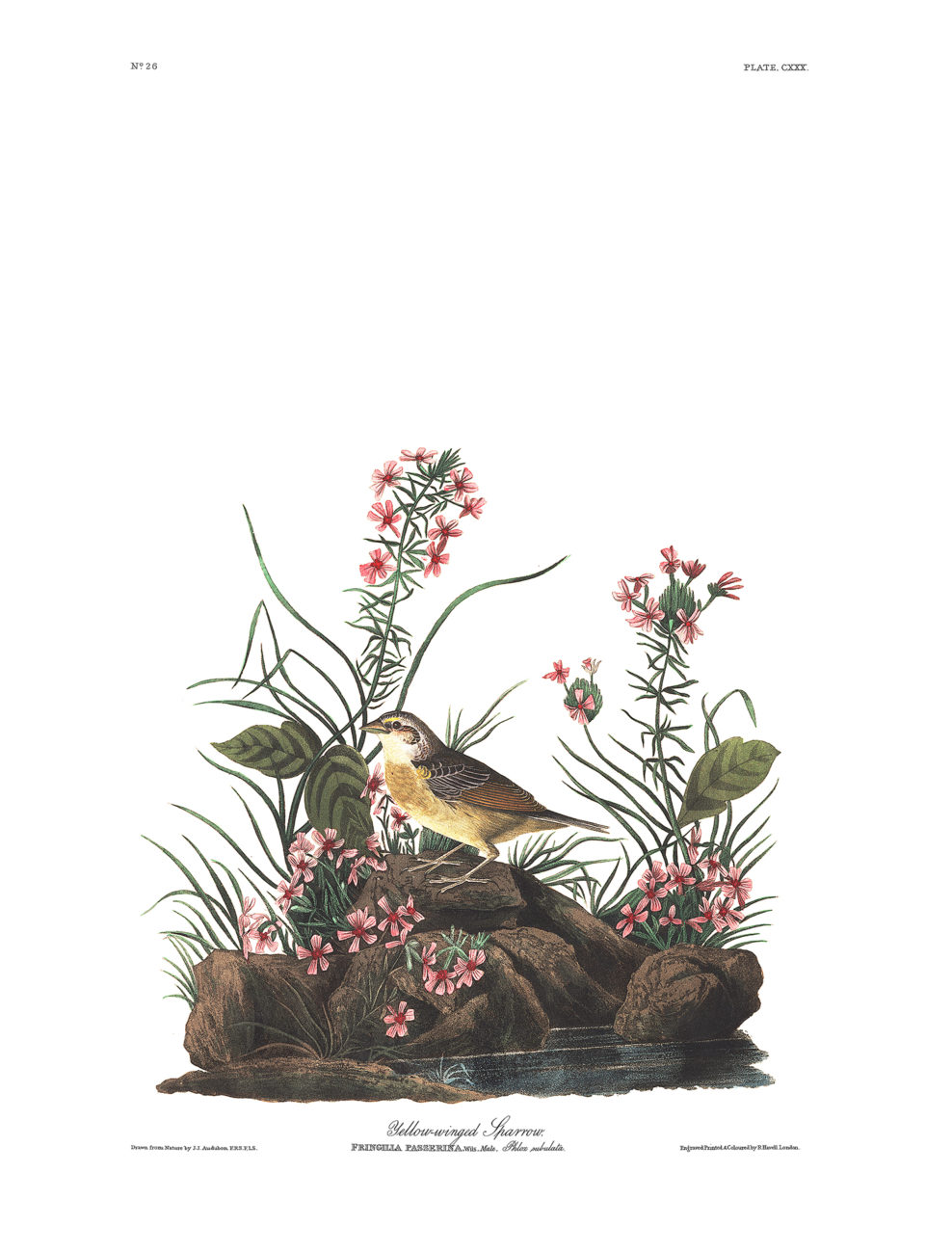 Plate 130 - Yellow Winged Sparrow