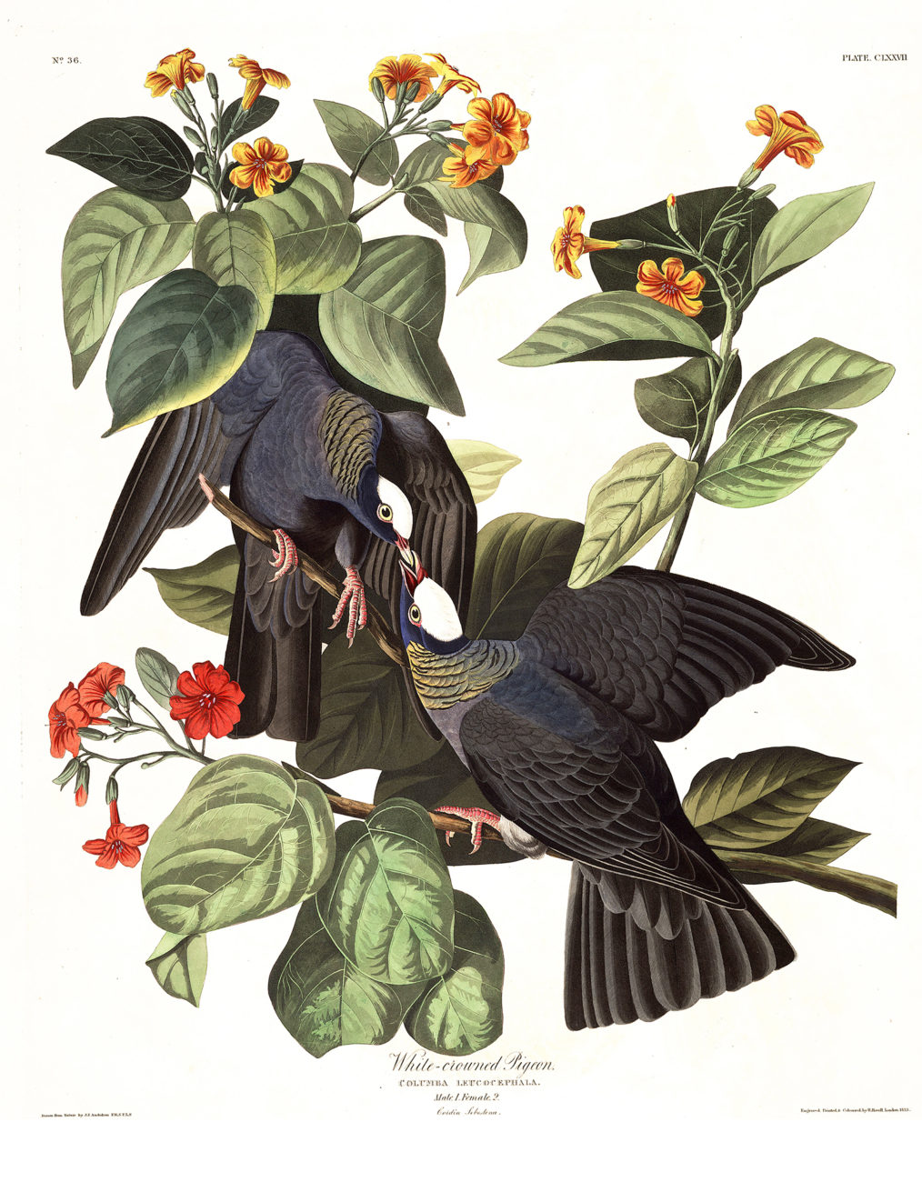 Plate 177 - White Crowned Pigeon