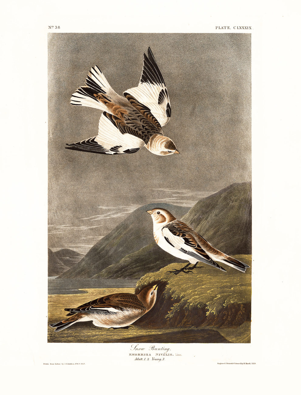 Plate - 189 - Snow Bunting