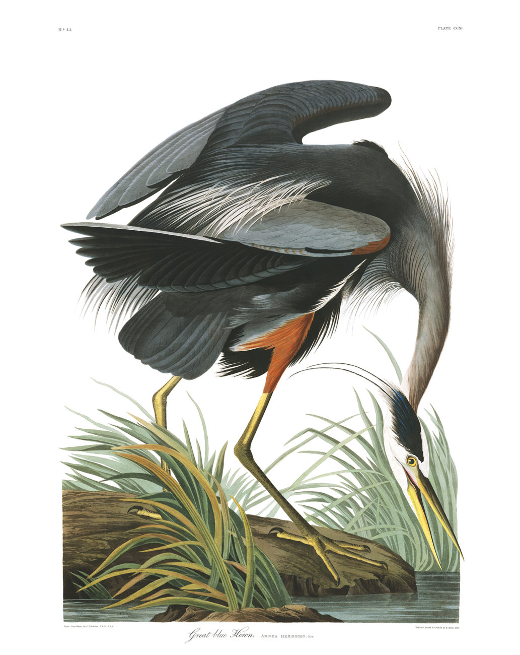 Plate 211 - Great Blue Heron