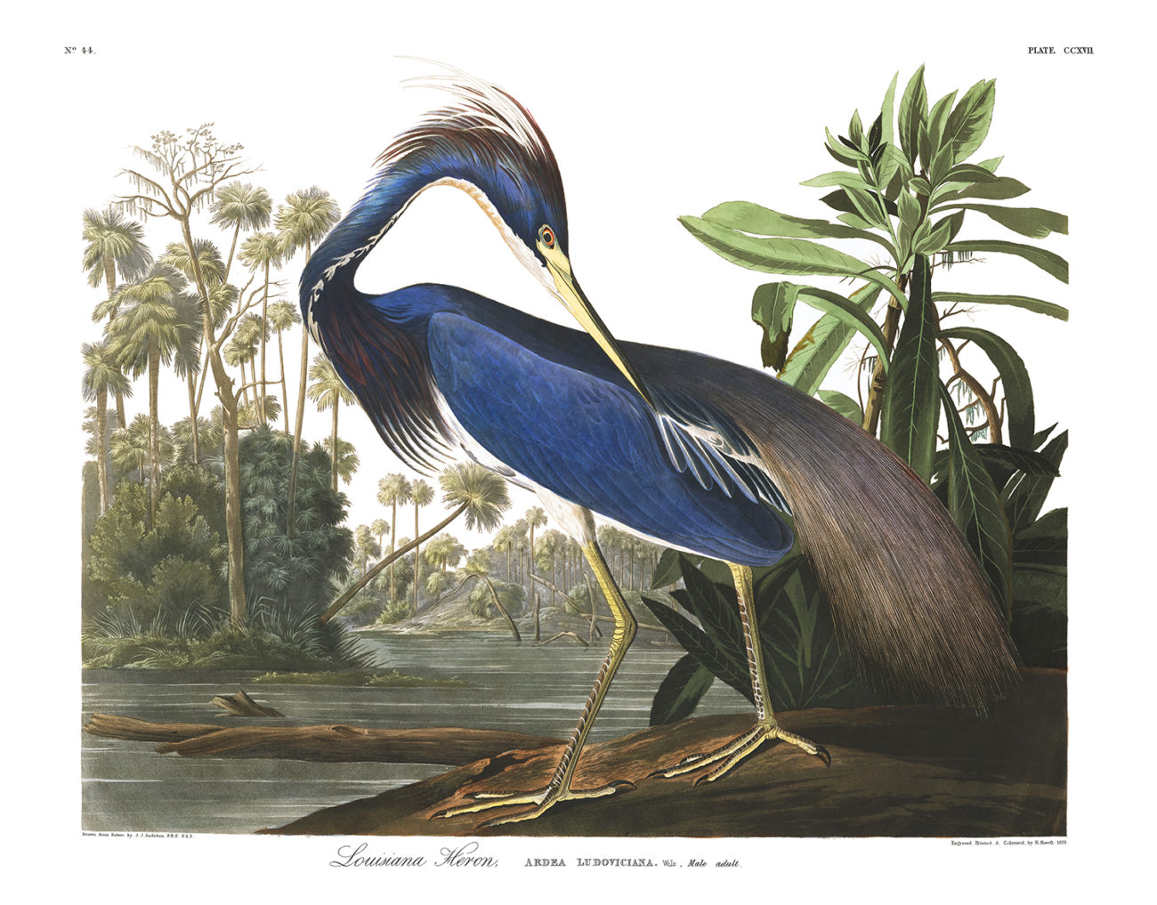 Plate 217 - Louisiana Heron