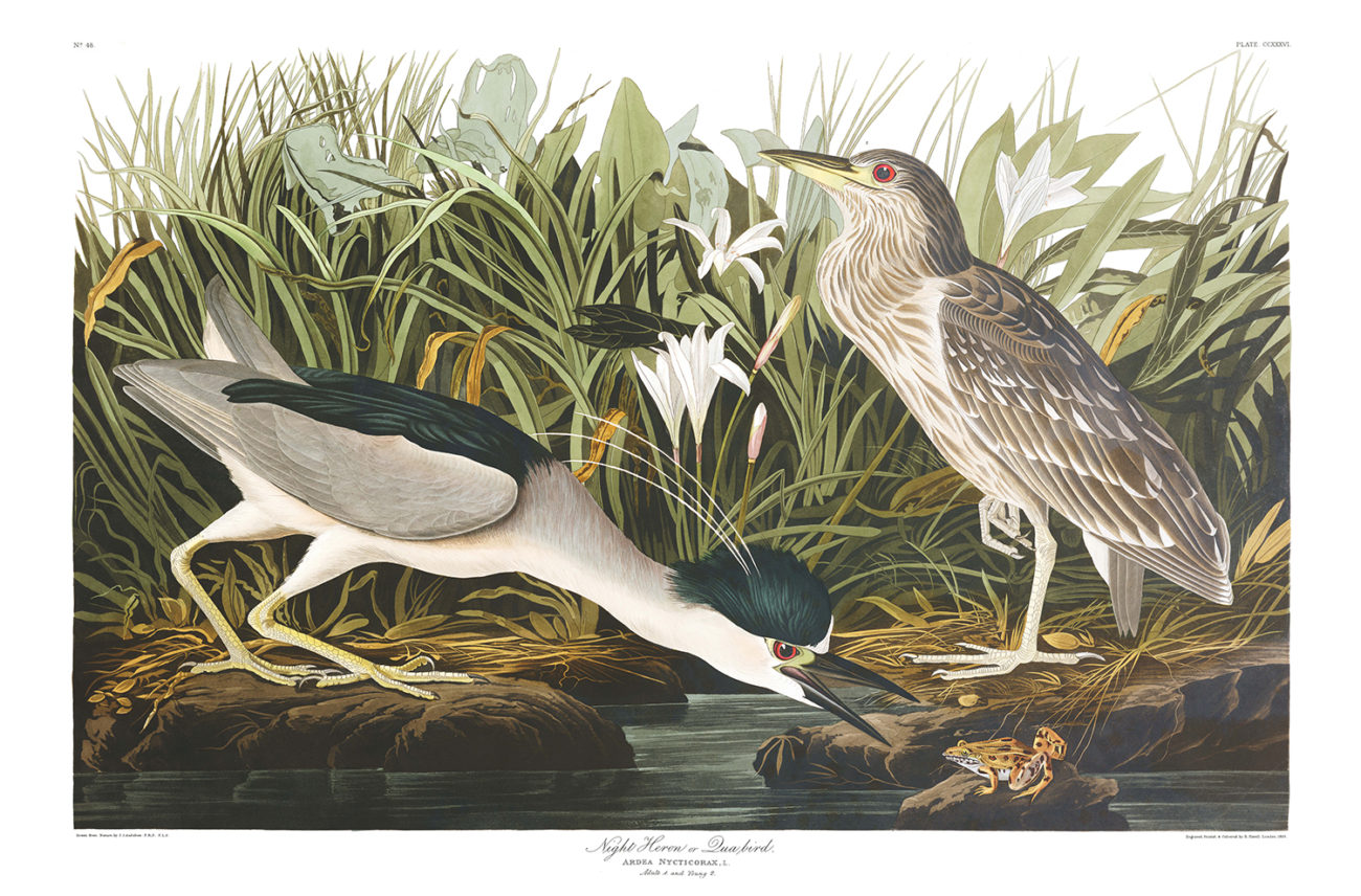 Plate 236 - Night Heron