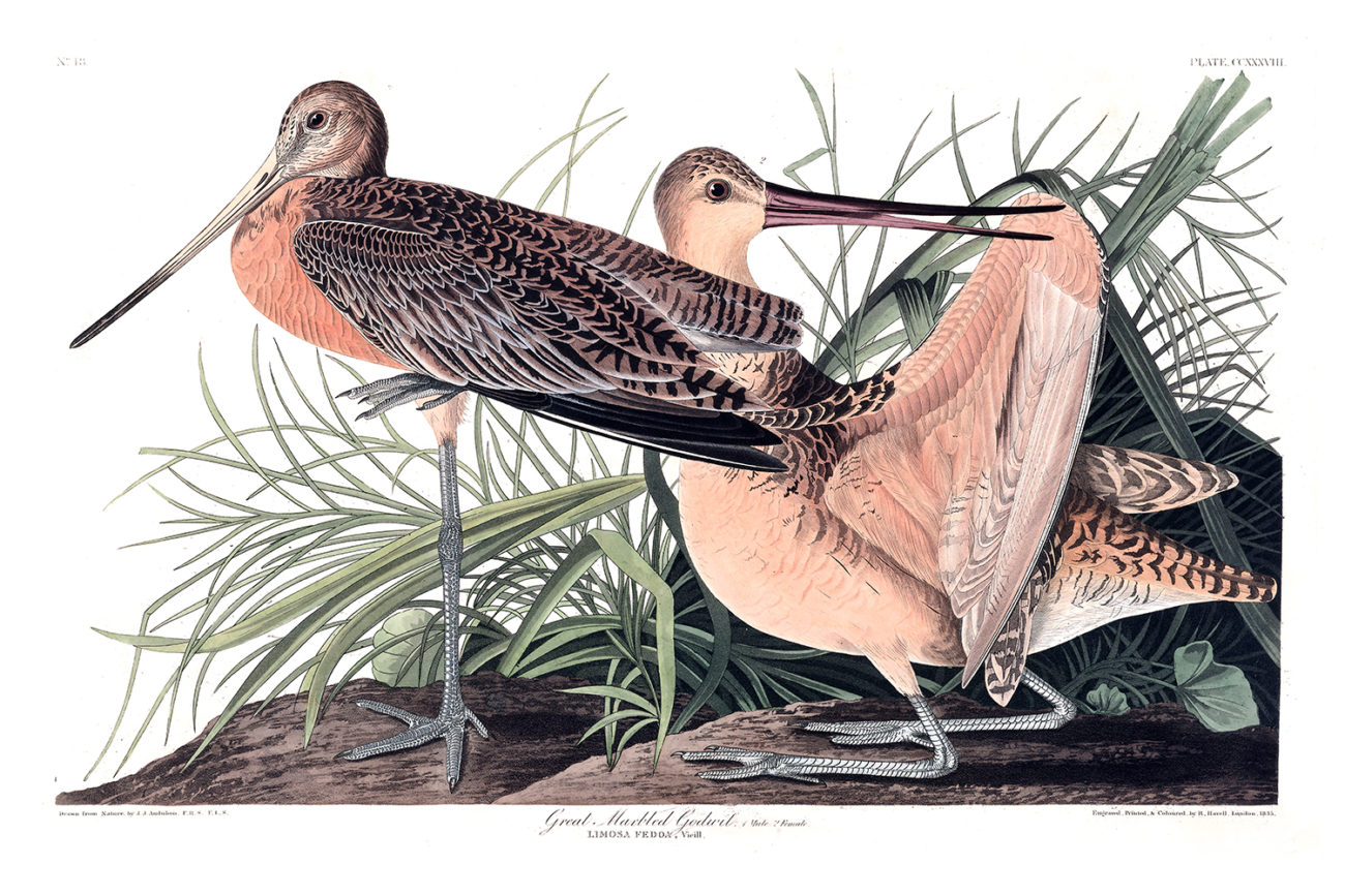 Plate 238 - Great Marbled Godwit