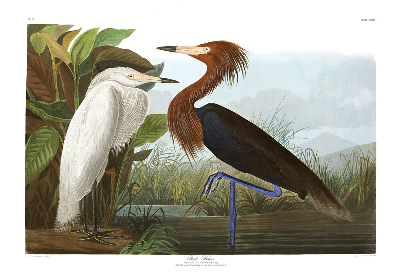 Plate 256 Purple Heron