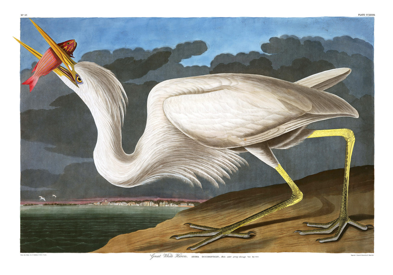 Plate 281 - Great White Heron