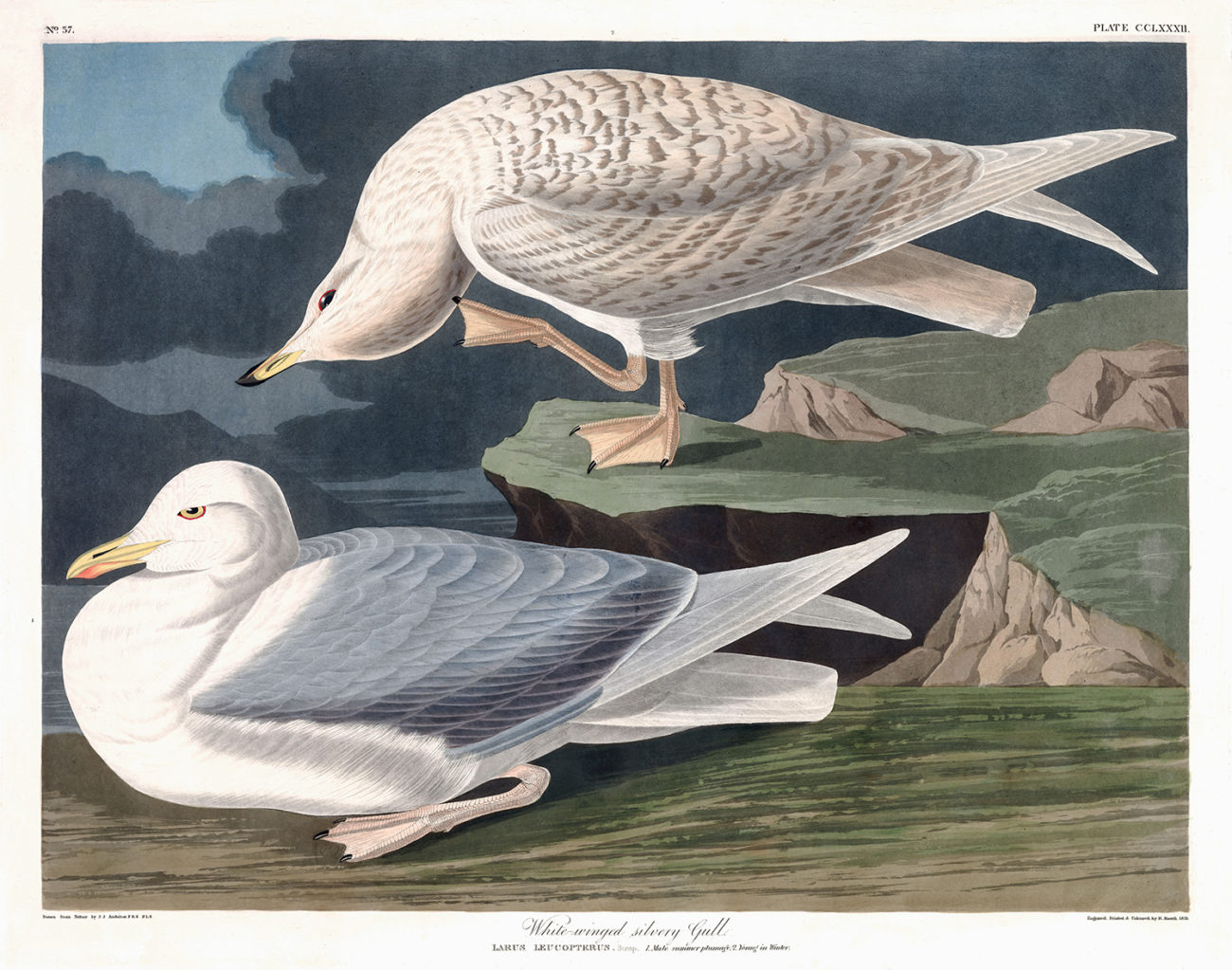 Plate 282 - White Winged Silvery Gull