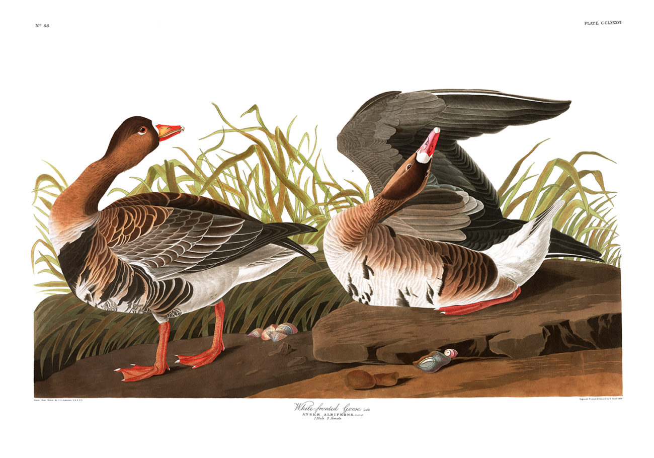 Plate 286 - White Fronted Goose