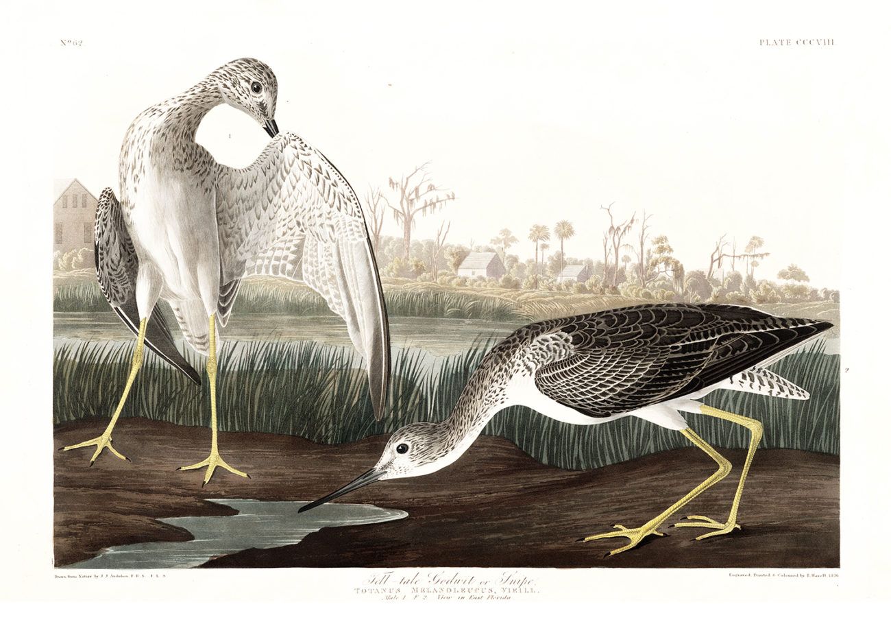 Plate 308 - Tell Tail Goodwit or Snipe