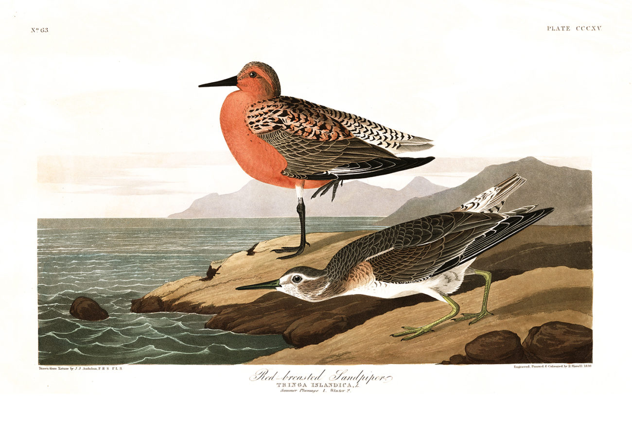 Plate 315 - Red Breasted Sandpiper