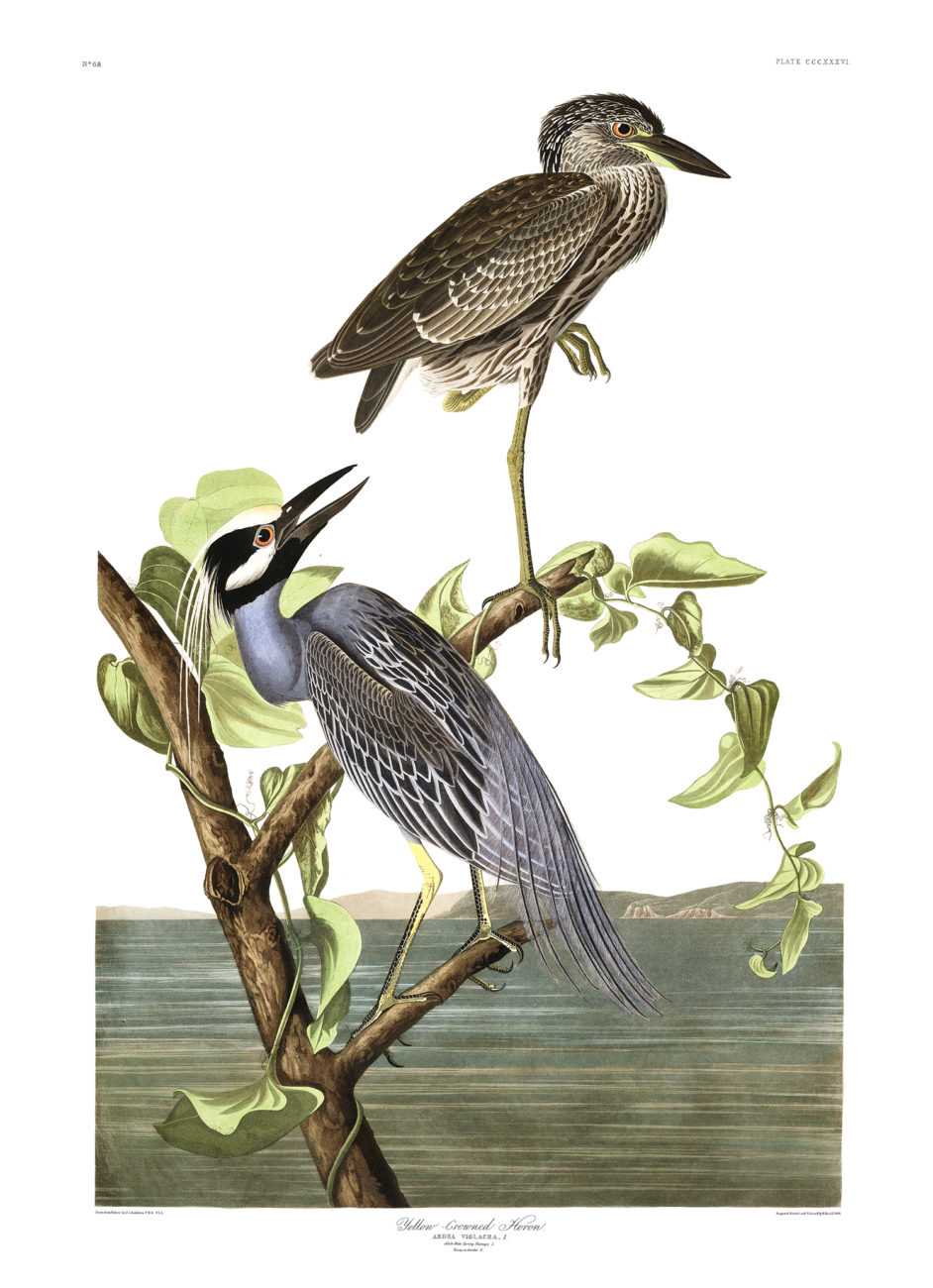 Plate 336 - Yellow Crowned Heron
