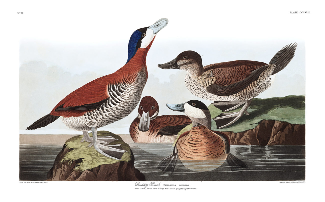 Plate 343 - Ruddy Duck