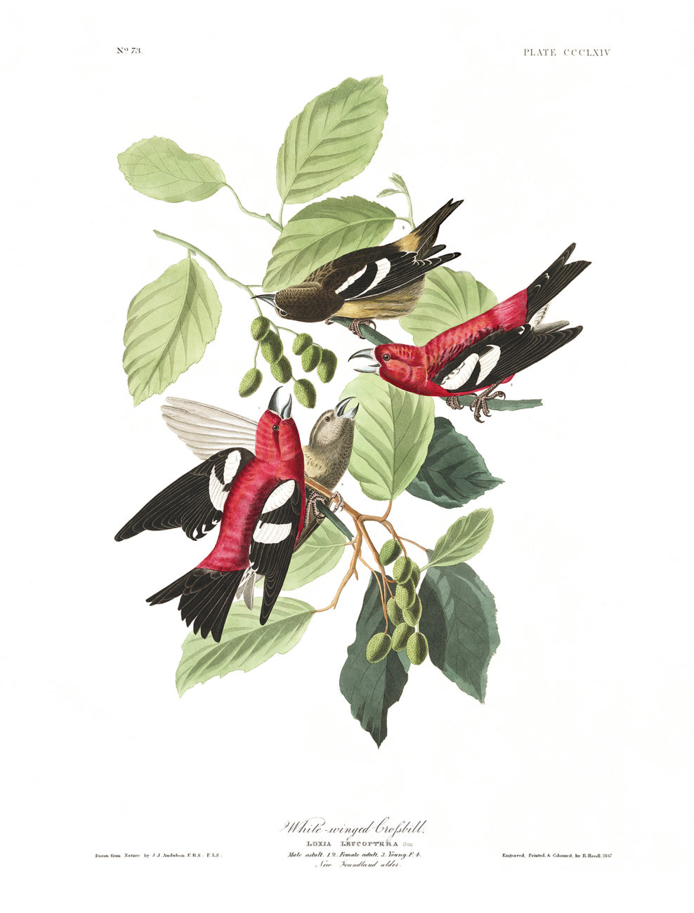 Plate 364 - White Winged Crofsbill
