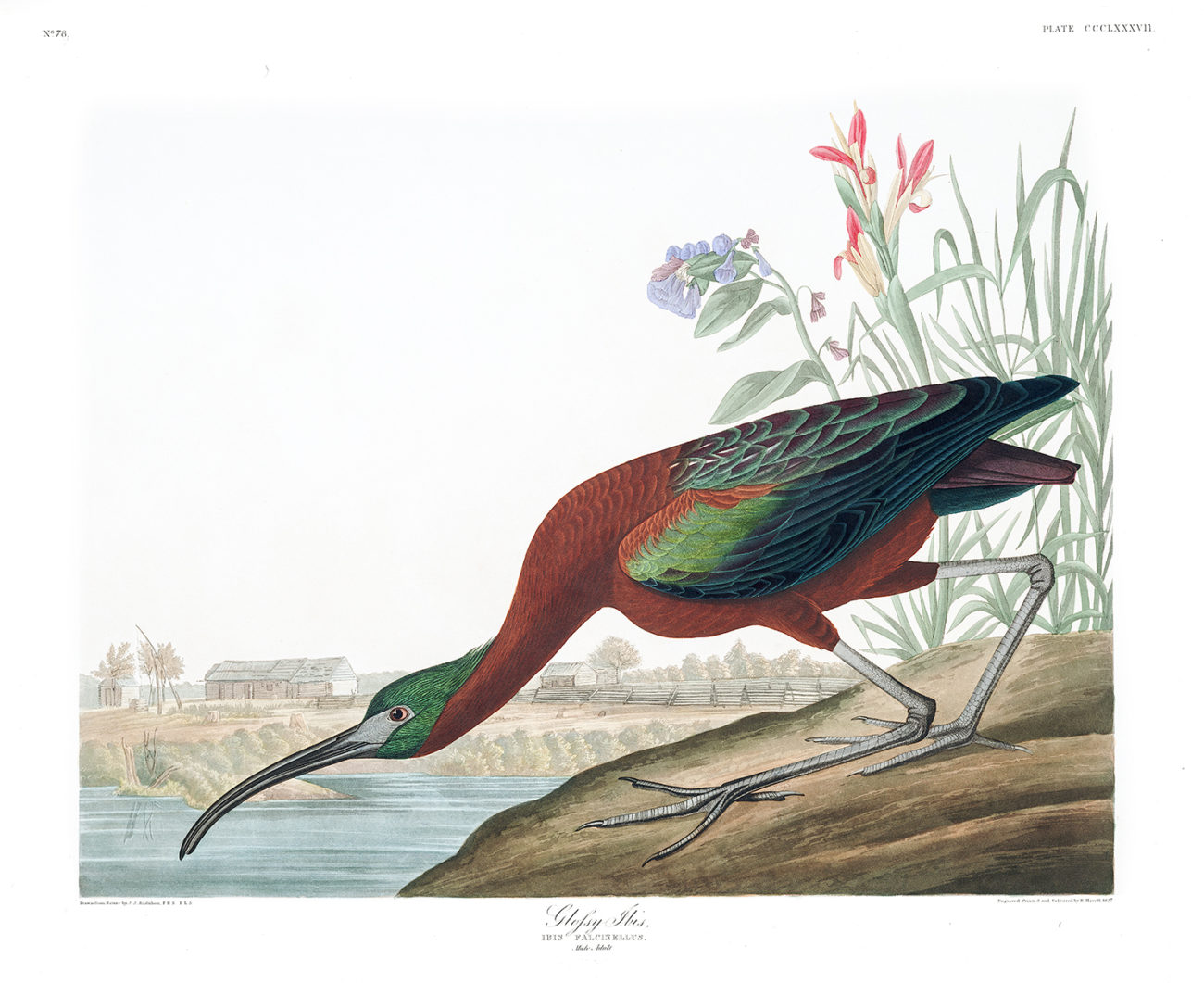 Plate 387 - Glossy Ibis