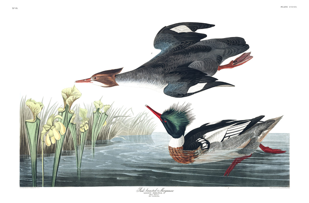 Plate 401 - Red Breasted Merganser