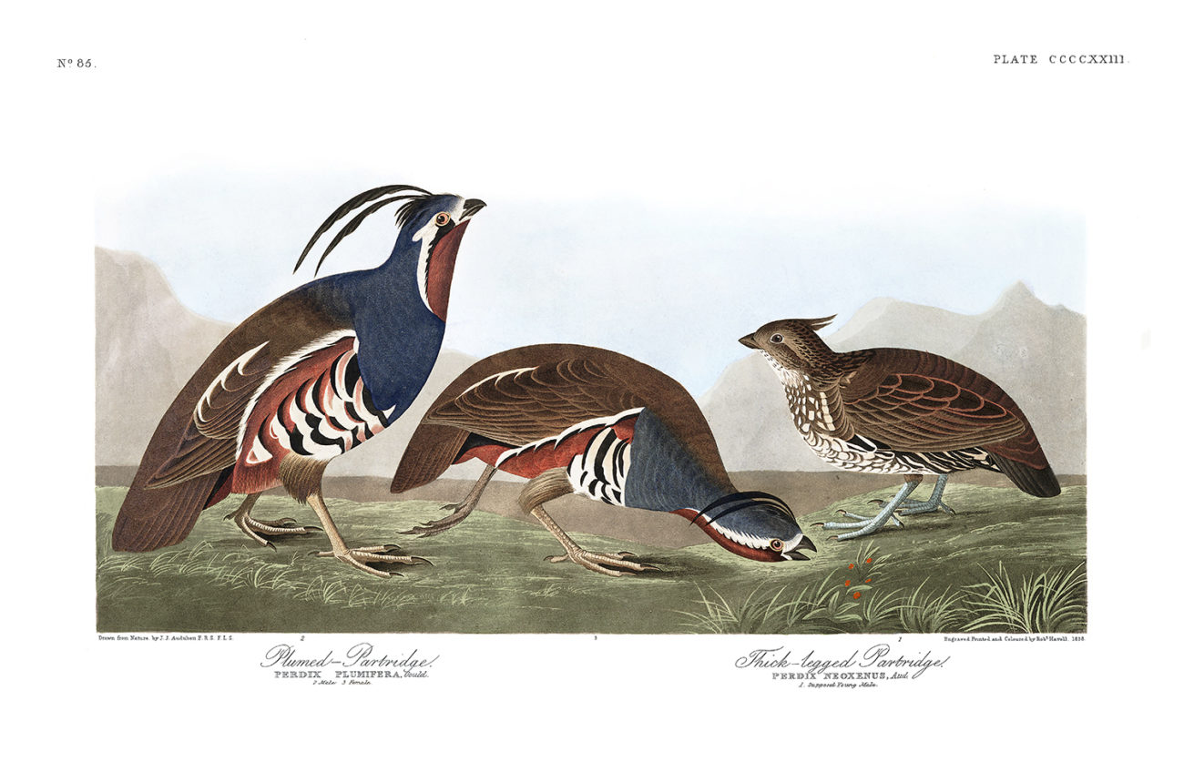 Plate 423 - Plumed Partridge