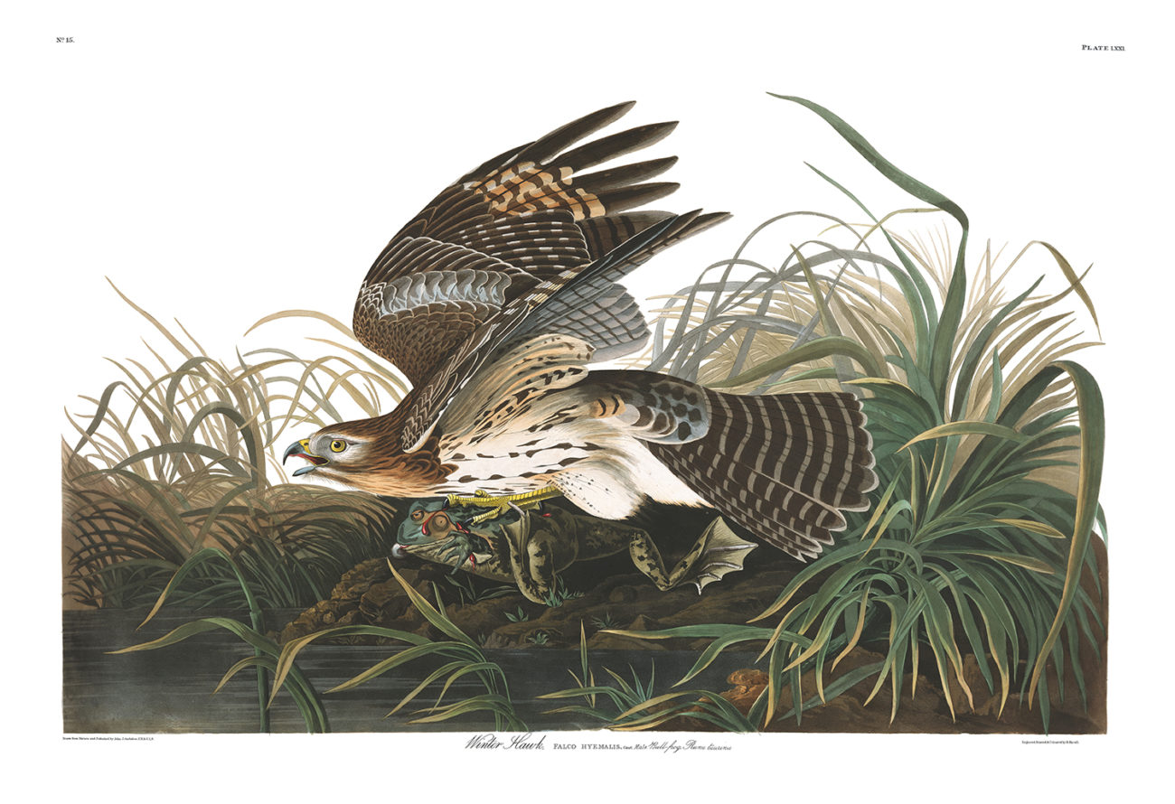 Plate 71 - Winter Hawk