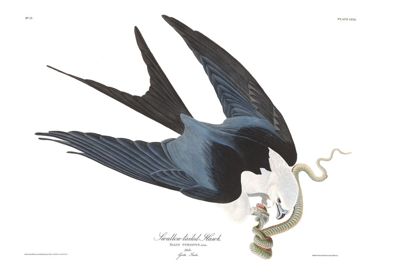 Plate 72 - Swallow Tailed Hawk